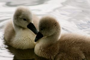 Photojenni_-_baby_swan_(by)